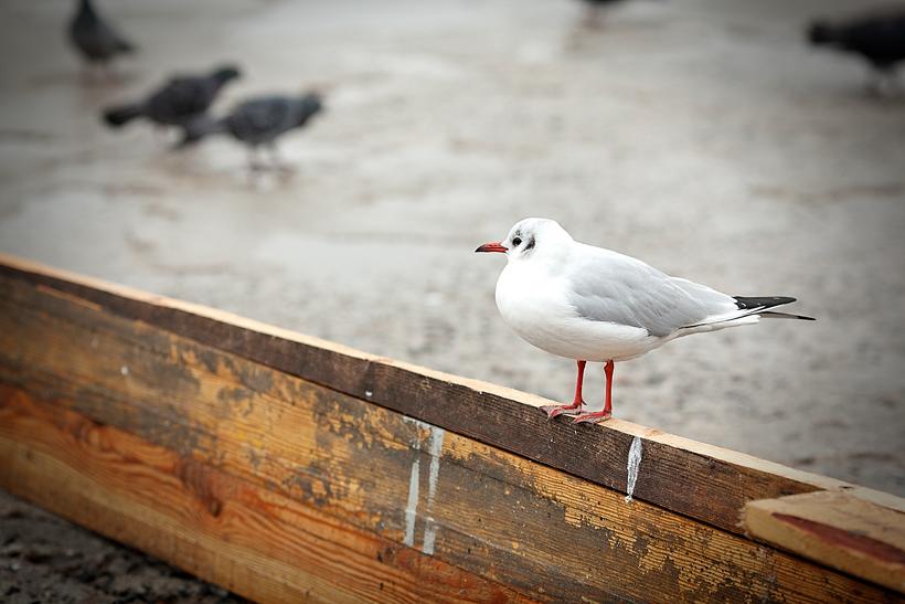 seagull odessa ukraine